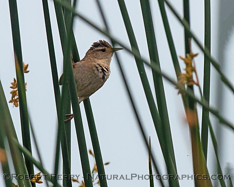 A little marsh wren perched on tule reeds.