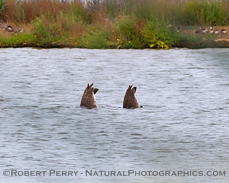 Canada geese feeding - bottom's up.