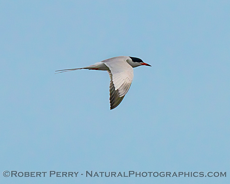 Forster's tern working a large pond in the refuge wetlands