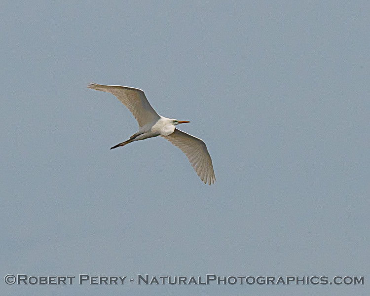 Great white egret with long neck folded in for flight.