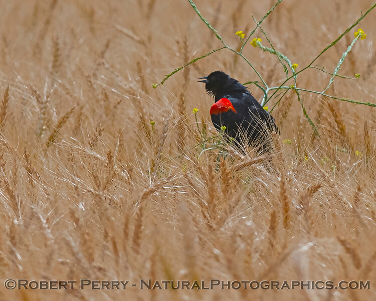 Agelaius phoeniceus Red-winged blackbird 2020 05-15 Davis--004
