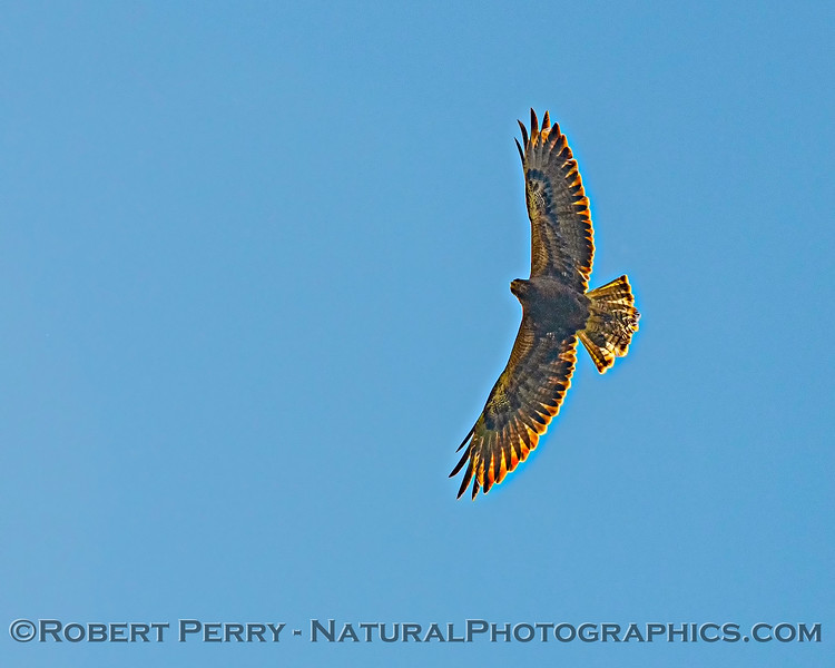 Swainson's hawk backlit by the sun.
