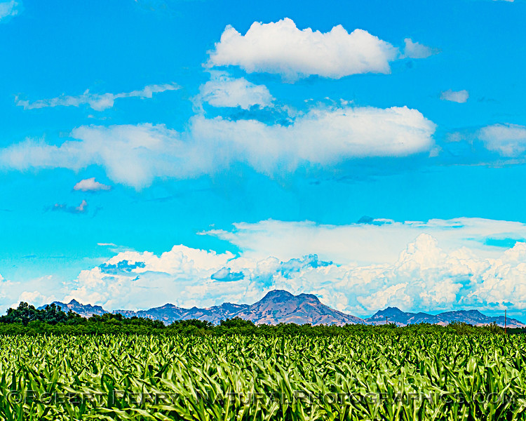 Corn fields and the Sutter Buttes