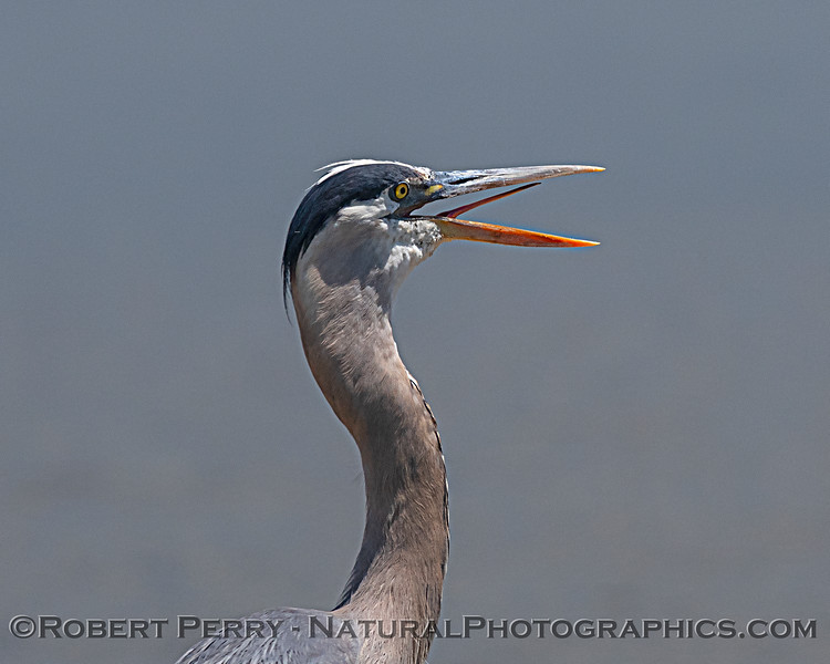 A great blue heron with its mouth open and tongue flicking...due to heat?