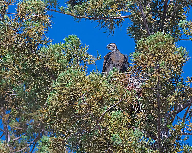 Buteo jamaicensis JUV nest 2020 06-06 EDH--1488