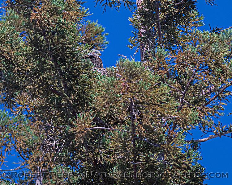 Buteo jamaicensis juv in nest nictitating membrane 2020 06-02 EDH--164