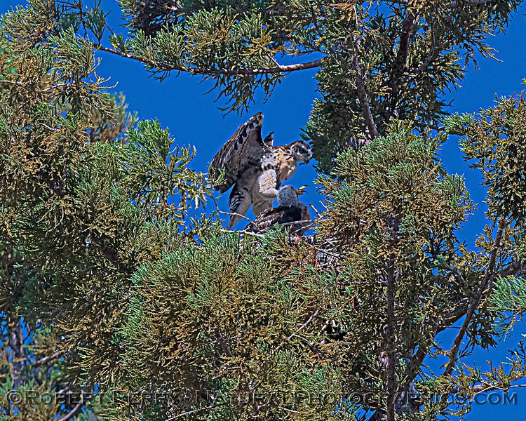 Buteo jamaicensis 2 JUV nest 1 jumping 2020 06-06 EDH--1102