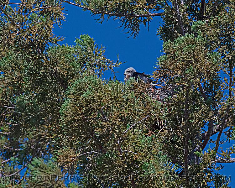 Buteo jamaicensis JUV nest 2020 06-06 EDH--592