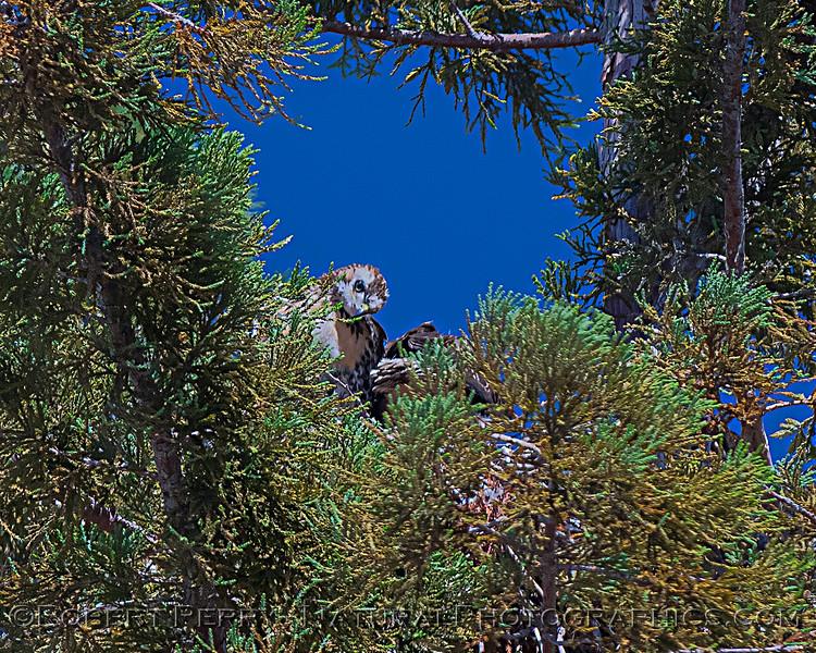 Buteo jamaicensis JUV nest 2020 06-07 EDH--265