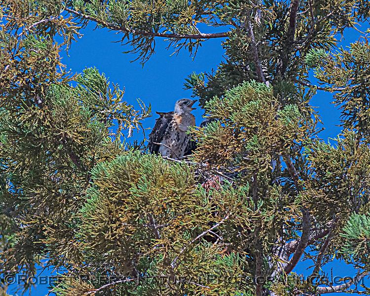 Buteo jamaicensis JUV nest 2020 06-06 EDH--799
