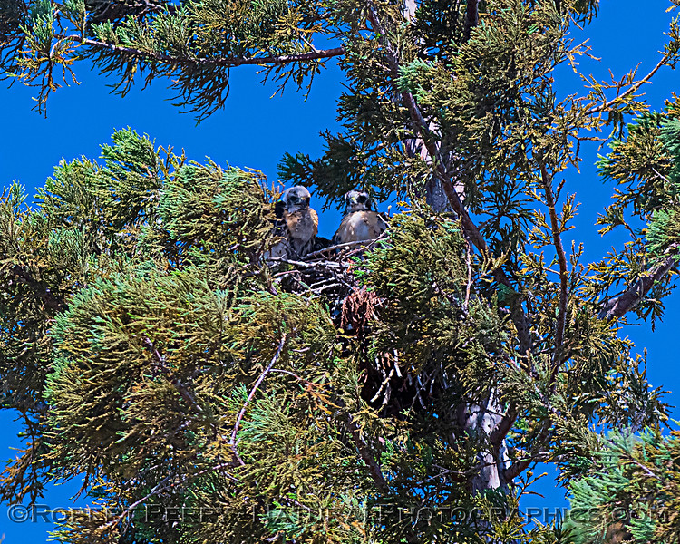 Buteo jamaicensis JUV nest 2020 06-06 EDH--772