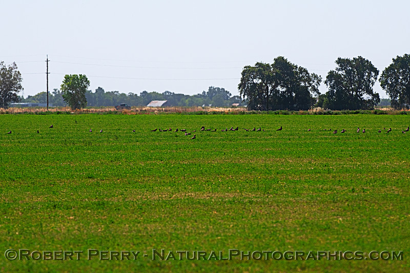 Around 45 Swainson's hawks on the alfalfa field.  Only part of the gathering.