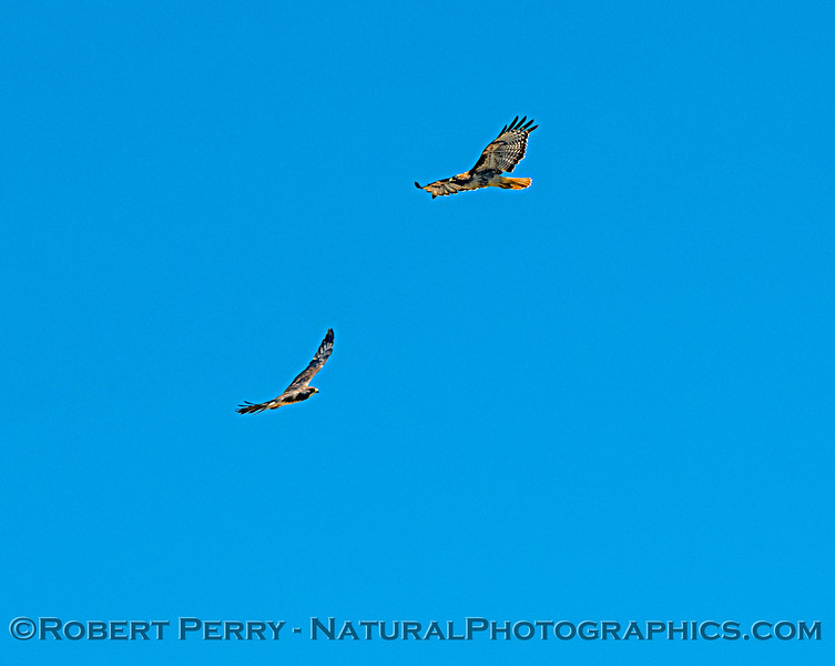 Red-tailed hawk (top, right) and a Swainson's hawk.