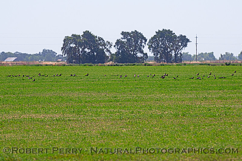 Swainson's hawks, approx 56 on the alfalfa crop.