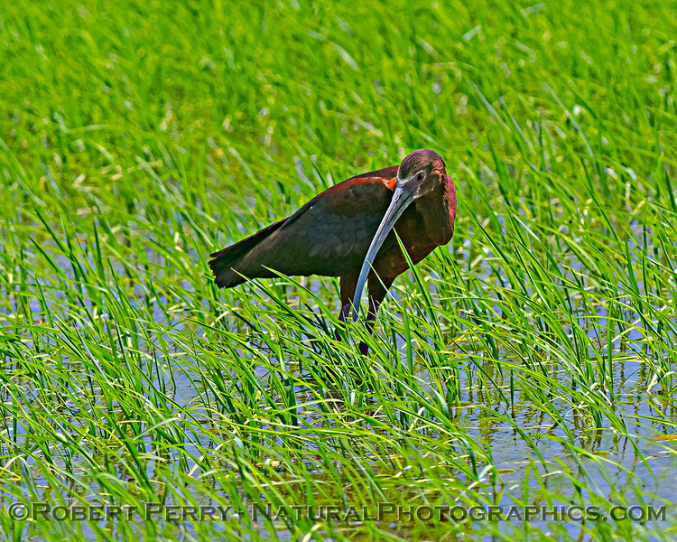 Plegadis chihi White-faced ibis in Oryza sativa Rice field 2020 06-28 Yolo ByPass--110