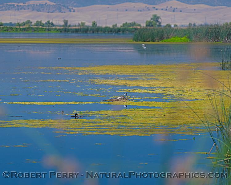 Aechmophorus clarkii NESTING pond scenery wide angle 2020 07-10 Sac NWR-d-0005