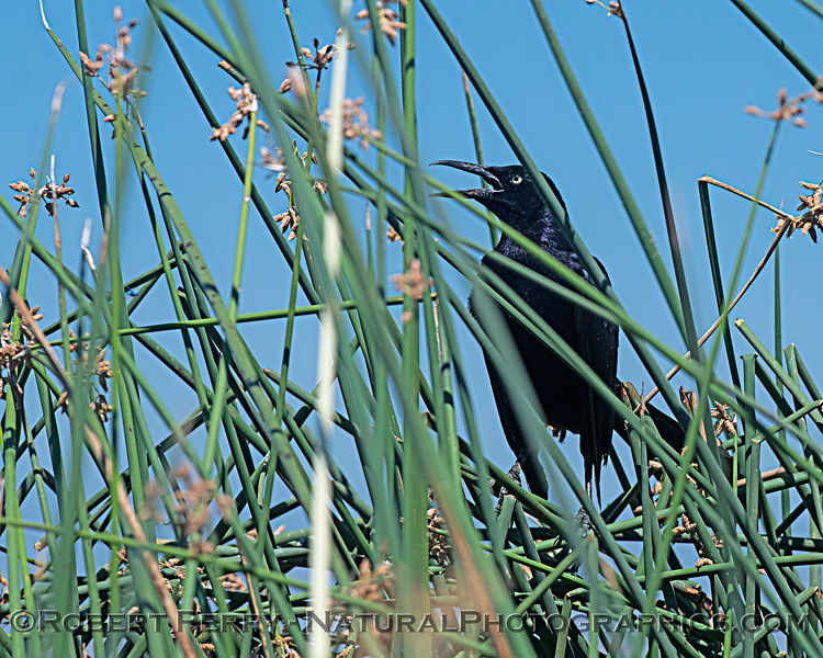 Quiscalus mexicanus - a great-tailed grackle in the reeds.