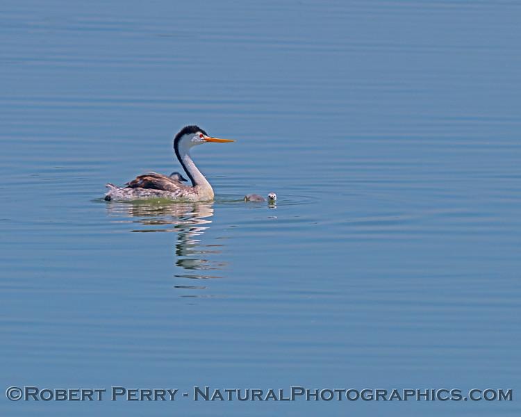 Aechmophorus clarkii & chicks in pond 2020 08-07 Sac NWR--130