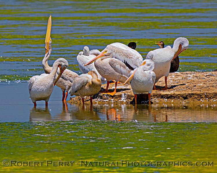 Pelecanus erythrorhynchos White pelican 2020 08-07 Sac NWR--051