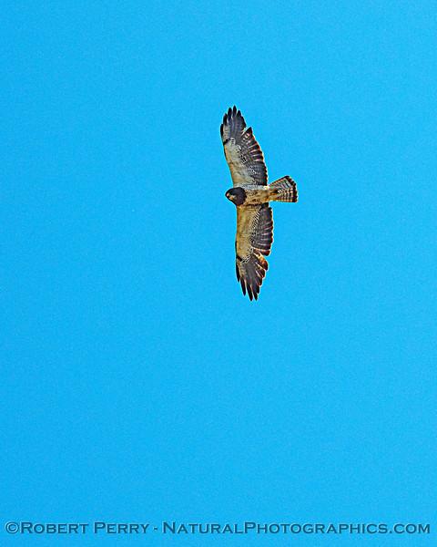 Buteo swainsoni in flight VERTICAL 2020 08-07 Colusa--019