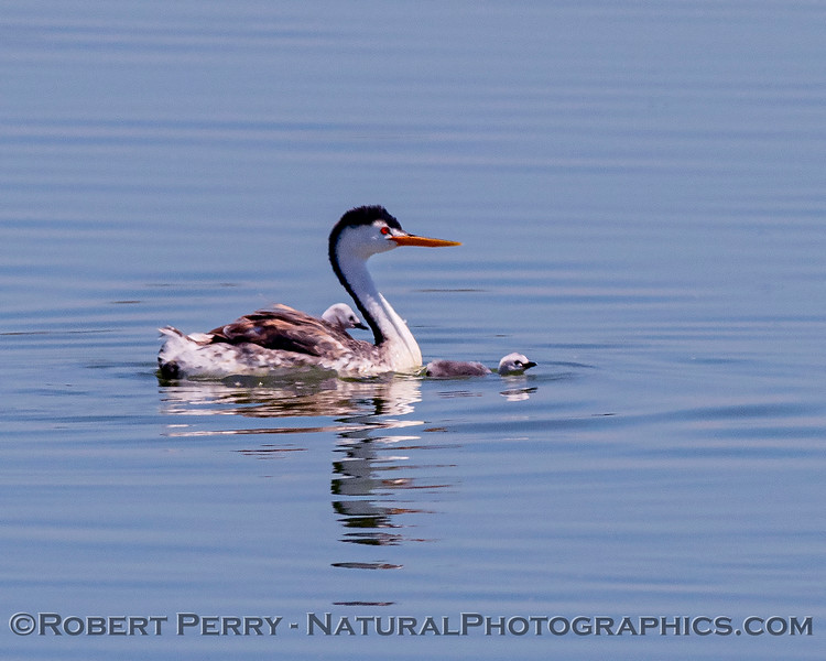 Aechmophorus clarkii & chicks in pond 2020 08-07 Sac NWR--129