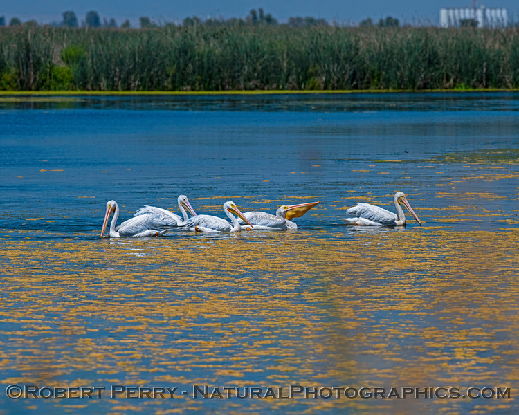 Pelecanus erythrorhynchos White pelican 2020 08-07 Sac NWR--086