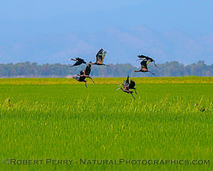 Oryza sativa Rice & Plegadis chihi Ibis in flight 2020 08-07 Colusa-b-003