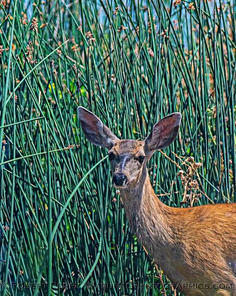 Odocoileus hemionus mule deer DOE close 2020 08-07 Sac NWR--003