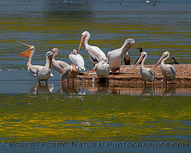 Pelecanus erythrorhynchos White pelican 2020 08-07 Sac NWR--062