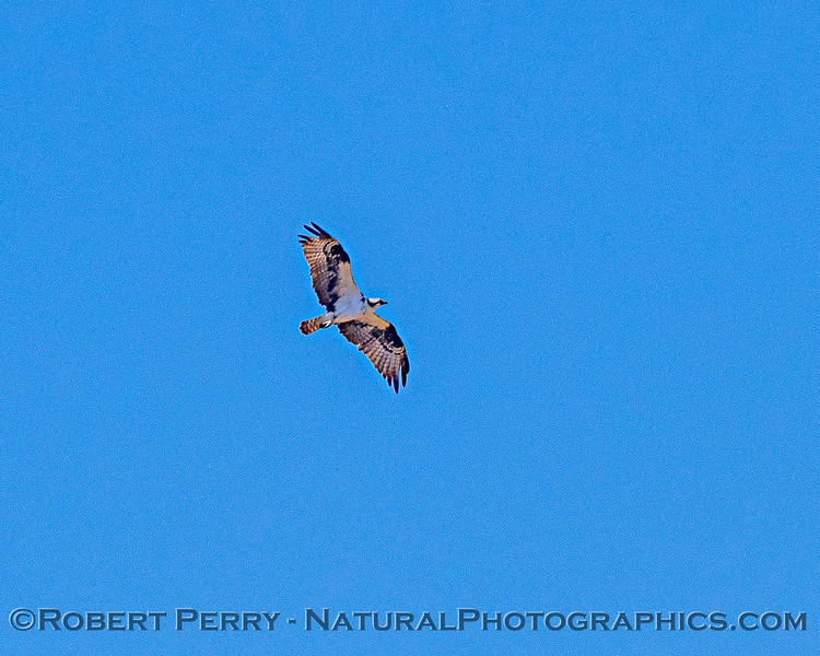 Pandion haliaetus Osprey in flight 2020 08-07 Sac NWR--038