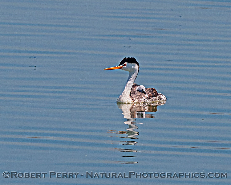 Aechmophorus clarkii & chick on back in pond 2020 08-07 Sac NWR--177