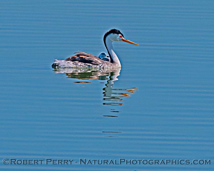 Aechmophorus clarkii & chicks in pond 2020 08-07 Sac NWR--034
