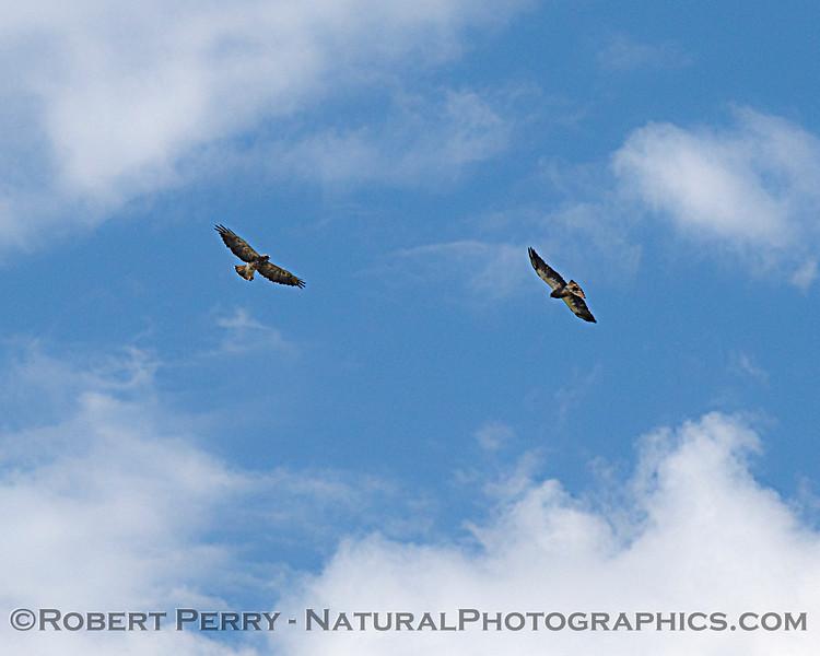 Buteo swainsoni 2 soaring 2020 08-14 Delta-Brannon Isl--171