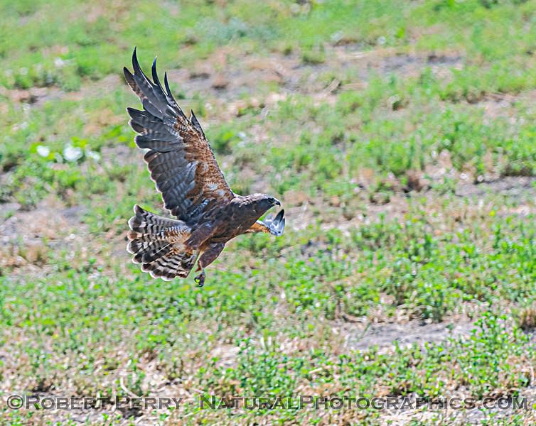 Buteo swainsoni taking off Medicago sativa Alfalfa 2020 08-14 Delta-Brannon Isl--264