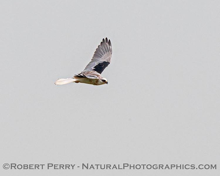 Elanus leucurus White-tailed kite in flight 2020 08-21 Yolo By-Pass-c-051