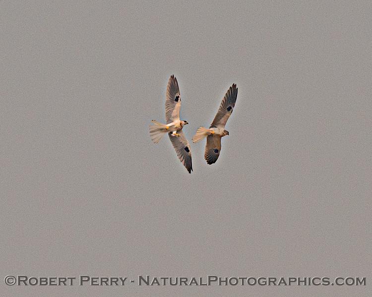 Elanus leucurus White-tailed kites 2 interacting in flight 2020 08-21 Yolo By-Pass--082