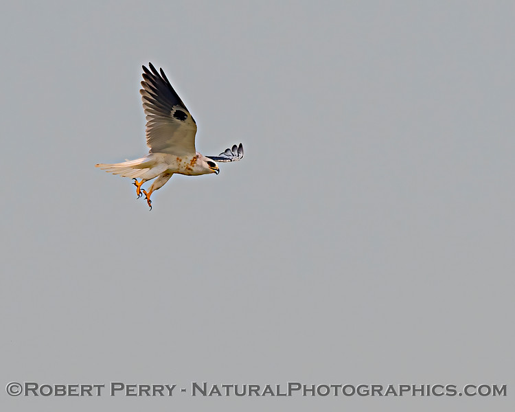 Elanus leucurus White-tailed kite 2020 08-21 Yolo By-Pass-c-039