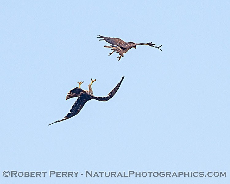 Buteo jamaicensis & Buteo swainsoni interact in flight 2020 08-21 Yolo By-Pass-d-063