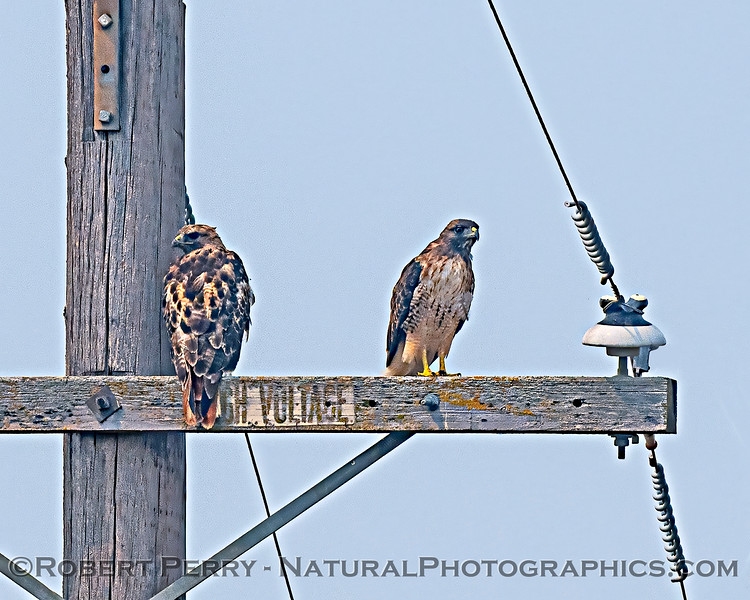 Buteo jamaicensis 2 on telephone pole 2020 08-21 Yolo By-Pass--011