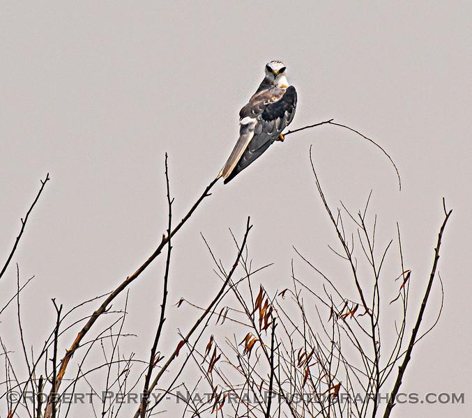 Elanus leucurus White-tailed kite 2020 08-21 Yolo By-Pass--190