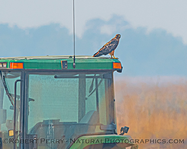 Buteo jamaicensis & farm tractor 2020 08-21 Yolo By-Pass-d-013