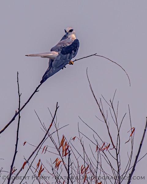 Elanus leucurus White-tailed kite 2020 08-21 Yolo By-Pass--187
