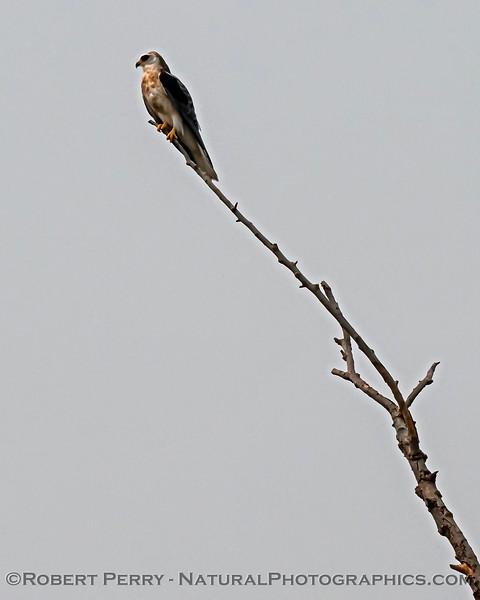 Cathartes aura Turkey vulture in flight CLOSE 2020 08-07 Colusa-b-034