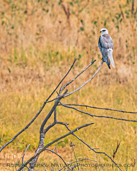 Elanus leucurus White-tailed kite 2020 08-21 Yolo By-Pass-c-003