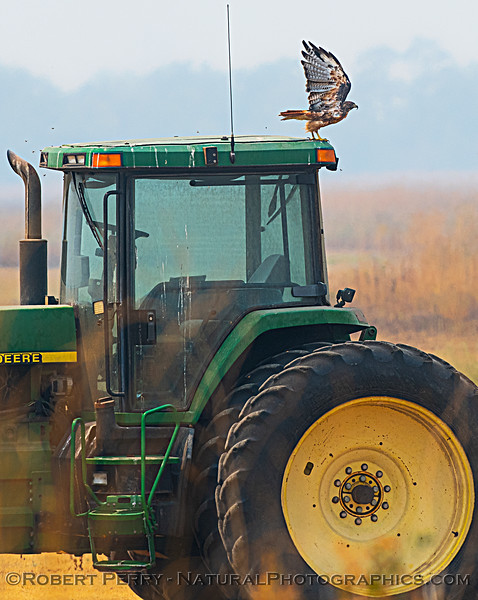 Buteo jamaicensis & farm tractor 2020 08-21 Yolo By-Pass-d-021