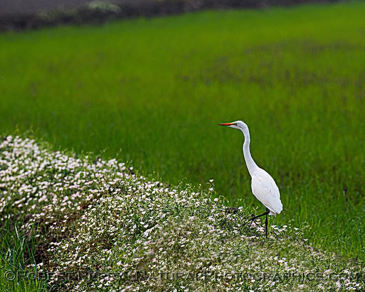 Ardea alba Great white egret 2020 08-21 Yolo By-Pass--003