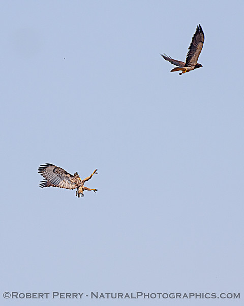 Buteo jamaicensis & Buteo swainsoni interact in flight 2020 08-21 Yolo By-Pass-d-064