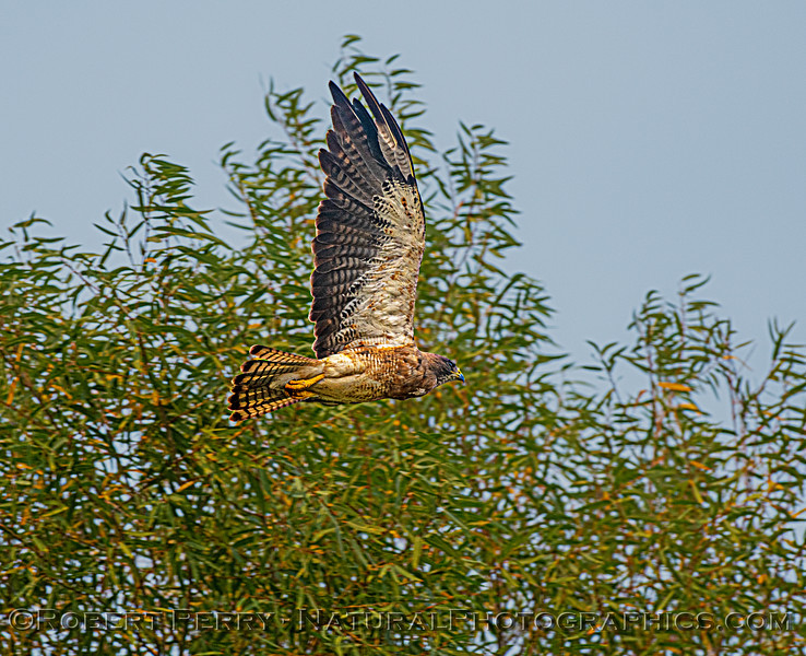 Buteo swainsoni 2020 08-21 Yolo By-Pass--008