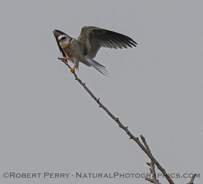 Elanus leucurus White-tailed kite 2020 08-07 Yolo ByPass-z-012