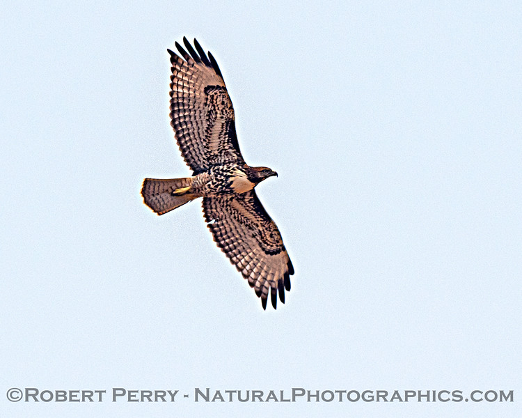 Buteo jamaicensis in flight 2020 08-21 Yolo By-Pass-d-054